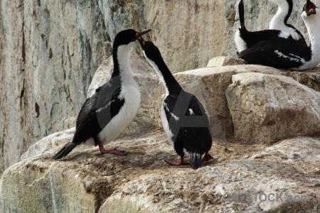 Shag antarctica cruise animal bird south pole.
