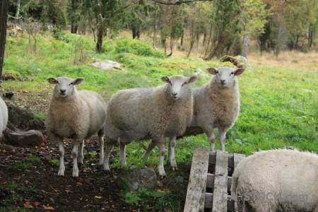 Sheep green animal.