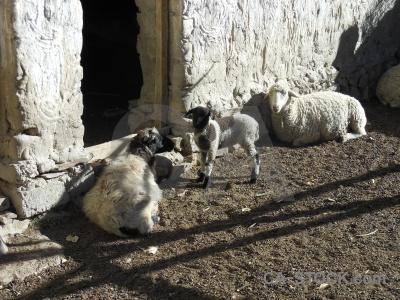 Sheep plateau altitude animal himalayan.
