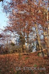 Single orange tree forest brown.
