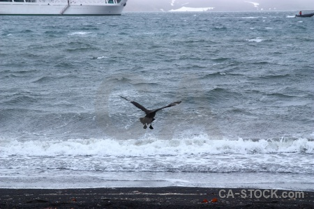 Skua brown skua antarctica cruise bird sea.