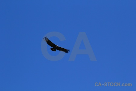 Sky altitude bird colca valley condor.