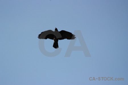 Sky animal bird jackdaw flying.