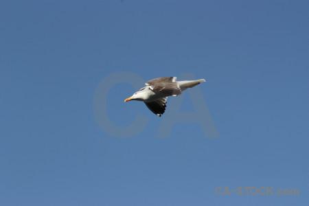 Sky animal bird seagull flying.