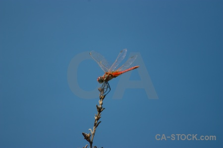 Sky branch dragonfly javea wing.