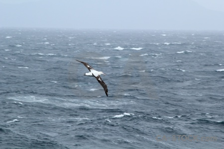 Sky cape horn water animal wandering albatross.