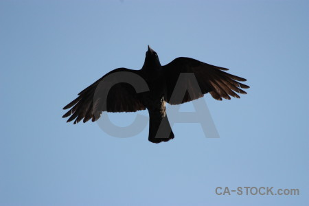 Sky flying bird jackdaw animal.