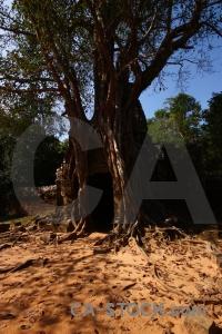 Sky khmer banyan tree block lichen.