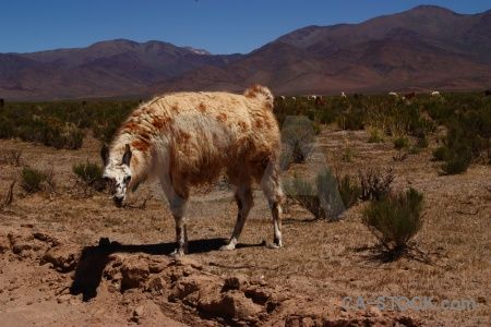 Sky salta tour south america llama andes.