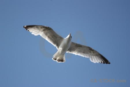 Sky seagull animal bird flying.