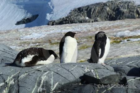 Snow adelie wilhelm archipelago antarctica ice.