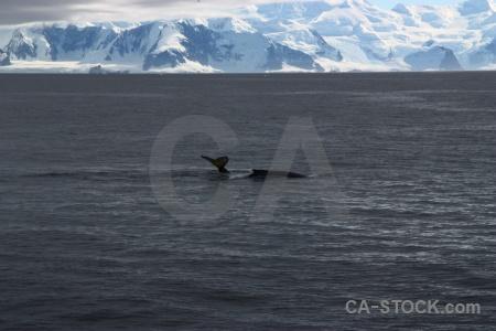 Snow antarctic peninsula whale adelaide island antarctica cruise.