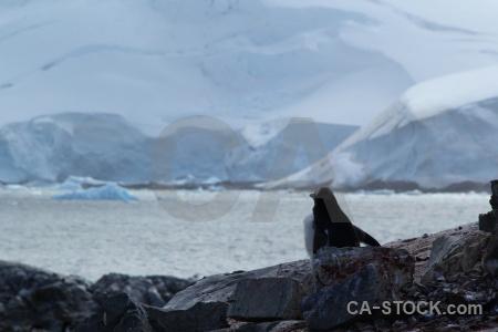 Snow wilhelm archipelago gentoo animal south pole.