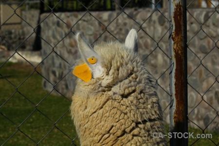 South america alpaca arequipa peru.