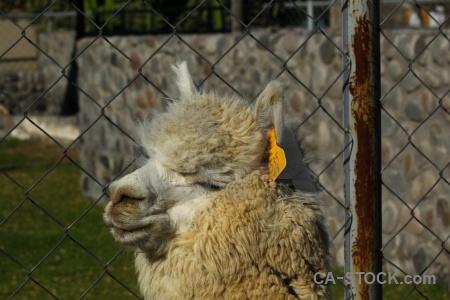 South america alpaca peru arequipa.