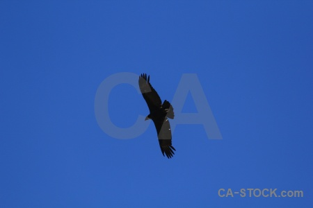 South america andean condor colca canyon valley peru.