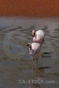 South america animal bird lake laguna colorada.