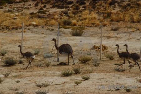 South america argentina fence field rhea.
