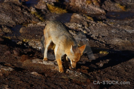 South america culpeo el tatio chile fox.