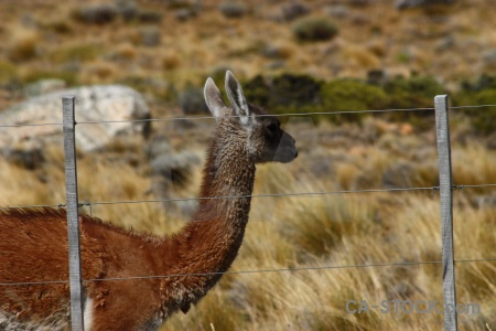 South america fence deer patagonia field.