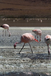 South america flamingo bird salt altitude.