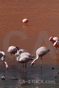 South america flamingo laguna colorada altitude lake.