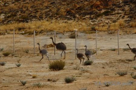 South america patagonia emu field rhea.