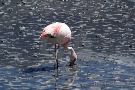 South america salt lake animal flamingo laguna hedionda.
