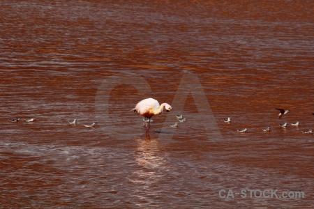 South america sandpiper water lake laguna colorada.