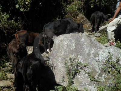 South asia rock modi khola valley annapurna sanctuary trek cattle.
