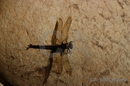 South island insect wing dragonfly stone.