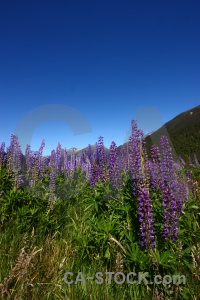 South island lupin sky cascade creek plant.