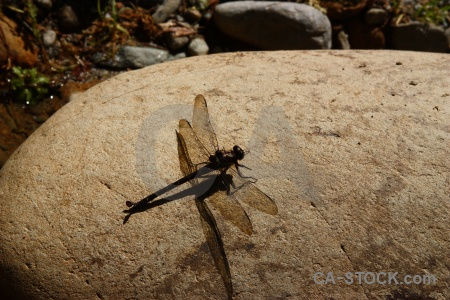 South island new zealand dragonfly rock stone.