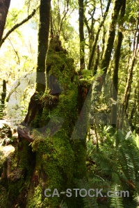 South island new zealand moss forest plant.