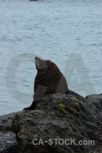 South island new zealand water whisker seal.
