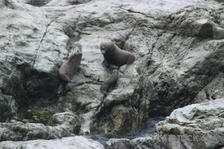 South island rock animal new zealand seal.