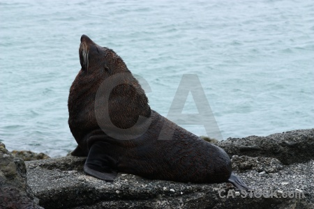 South island whisker sea water seal.