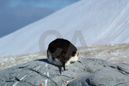 South pole animal penguin petermann island antarctic peninsula.