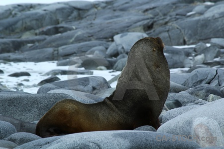 South pole fur seal day 10 snow wiencke island.