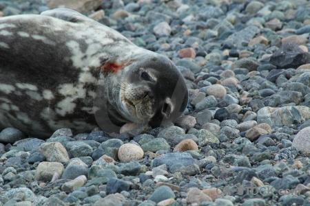 South pole millerand island seal weddell antarctica cruise.