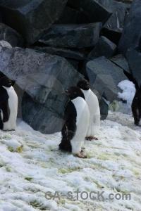 South pole penguin adelie antarctic peninsula snow.