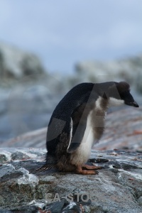 South pole penguin antarctic peninsula rock adelie.