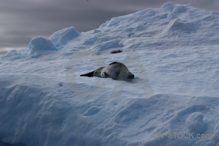 South pole snow antarctic peninsula leopard seal argentine islands.