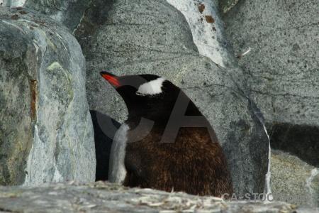 South pole wilhelm archipelago gentoo rock day 8.