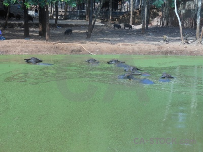Southeast asia animal wat pa luangta maha bua yannasampanno algal bloom buffalo.