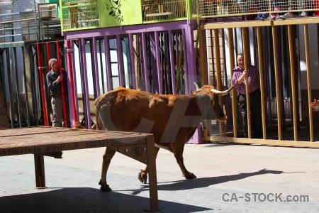 Spain animal javea person bull.