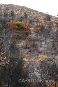 Spain europe tree ash burnt.