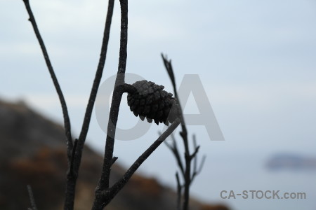 Spain fir cone branch europe burnt.