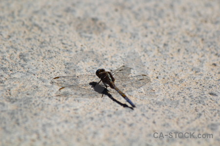 Spain gray europe dragonfly insect.