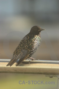 Starling animal bird.